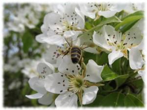 Abeille dans jardin à Perpignan (Pyrrénées Orientales 66)