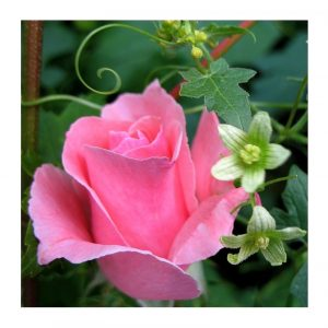 Rose dans un jardin à Perpignan (Pyrénées Orientales - 66)